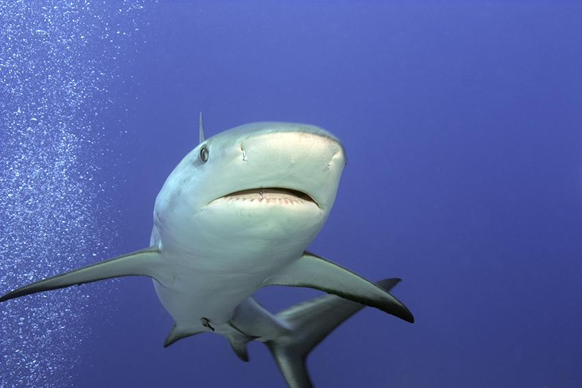 Bahamas - Schwarzspitzen Riffhai,