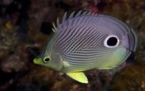 Bahamas - Vieraugen Falterfisch
