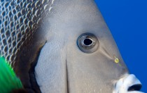 Bhamas - Grauer Kaiserfisch