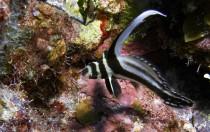 Bahamas - Junger Tüpfel-Ritterfisch