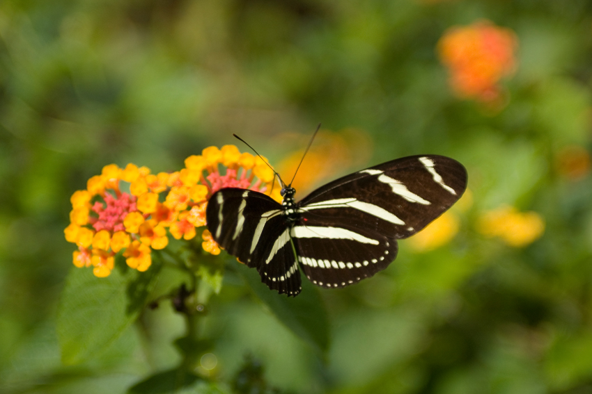 Bahamas - Schmetterling im Garden of Groves