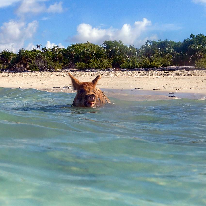 Schwimmende Schwein, Bahamas