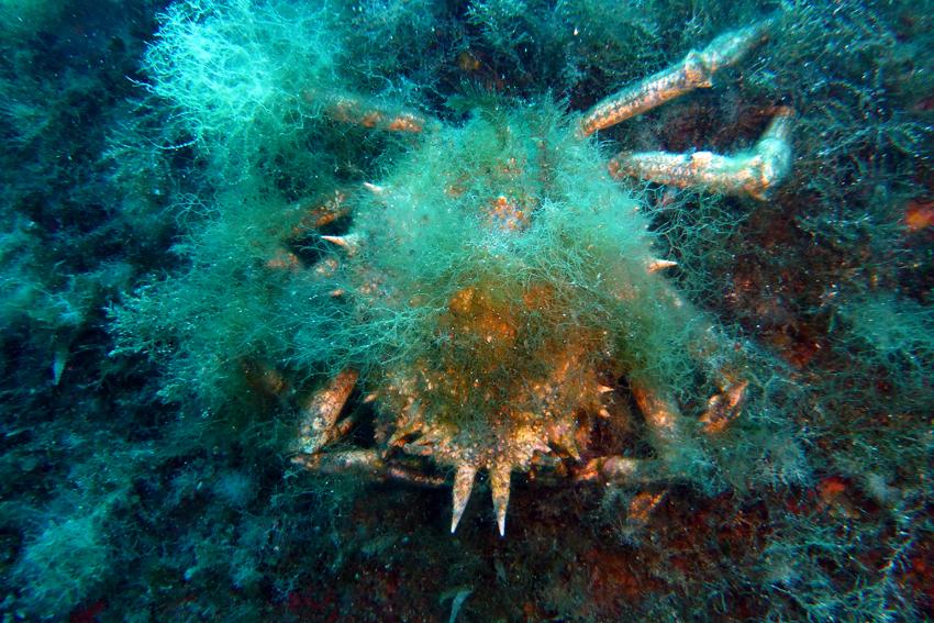 Italien, Sardinien - Krabbe