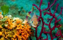 Italien, Sardinien - Fisch vor roter Gorgonie