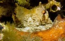 Italien, Sardinien - Octopus