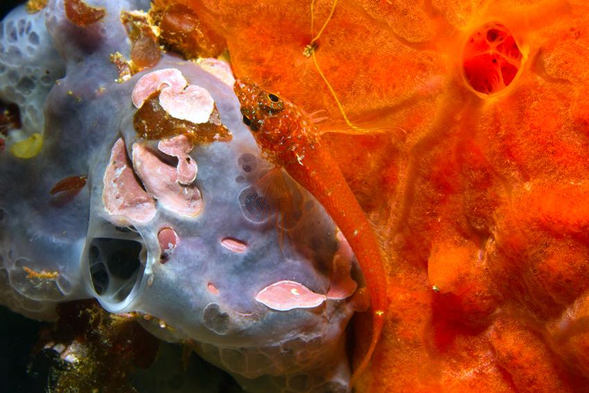 Italien, Sardinien - Zwergspitzkopf-Schleimfisch