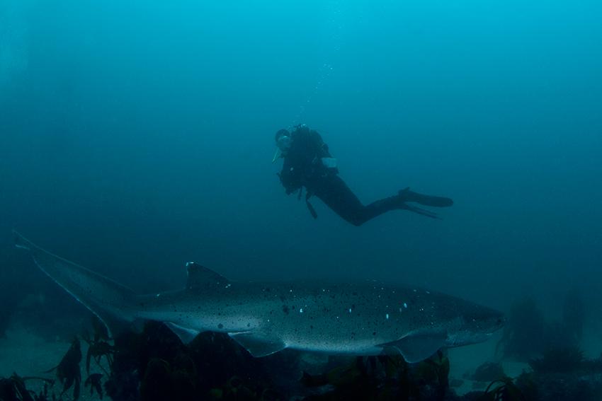Breitnasen-Siebenkiemerhai und Taucher