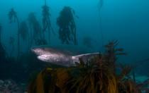 Breitnasen-Siebenkiemerhai