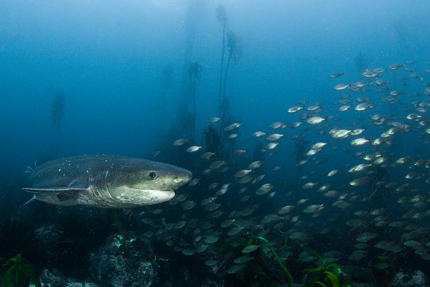 Siebenkiemenhai