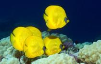 Ägypten, Soma Bay - Falterfische