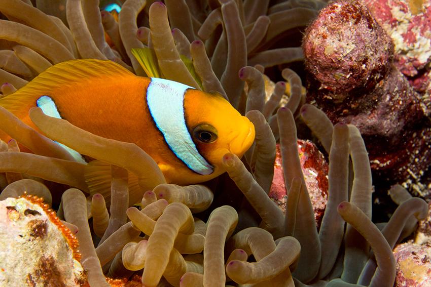 Ägypten, Soma Bay - Clownfisch