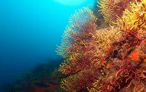 Farbwechselnde Gorgonie - Mittelmeer - Tamariu