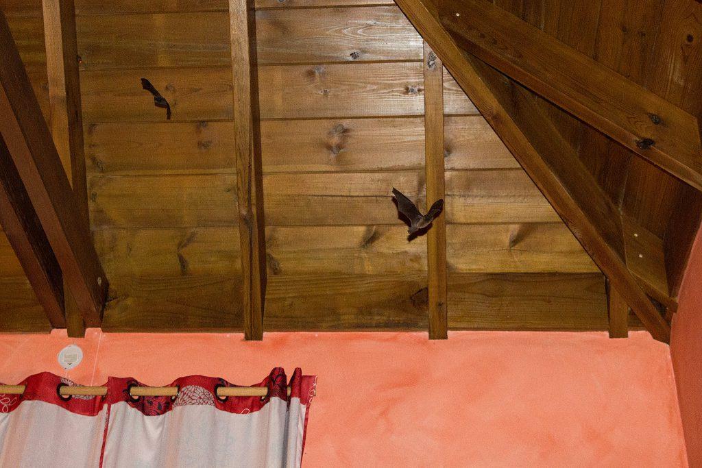 La Réunion - Fledermäuse im Zimmer Hotel Jardin d'Héva in Hell-Bourg